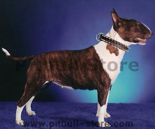 Bullterrier Leather Spiked Dog Collar - 2 Rows of spikes