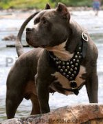 Best Leather Studded Dog Harness for American Pit Bull Terrier