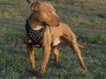 Studded Walking dog harness for Pitbull - Custom Dog Harness