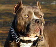 Pitbull Collar-3 Rows Leather Spiked and Studded Dog Collar S55