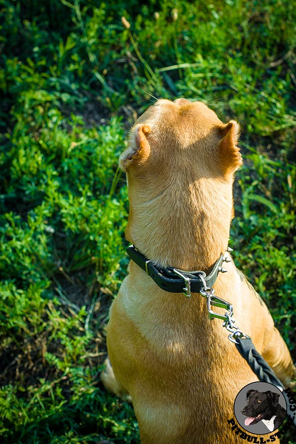 Pitbull collar with rust-resistant hardware