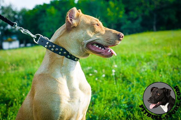 Wide leather dog collar with riveted decorations for Pitbull