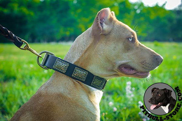 Pitbull collar for daily walking