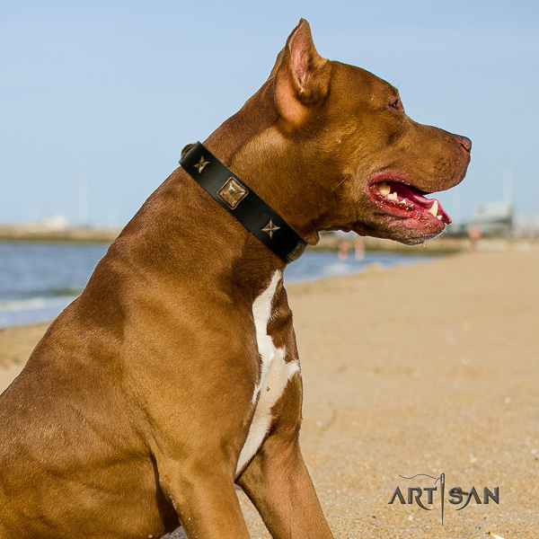 Pitbull impressive studded natural leather dog collar for fancy walking