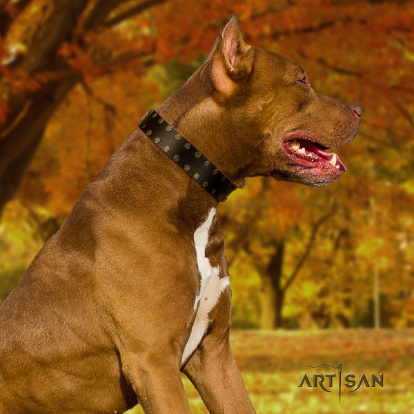 Pitbull significant decorated full grain leather dog collar for everyday walking