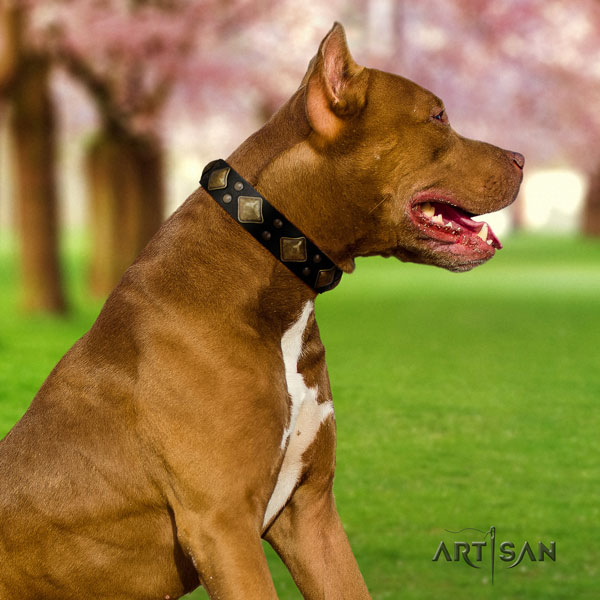 Pitbull stylish natural genuine leather collar with embellishments for your four-legged friend