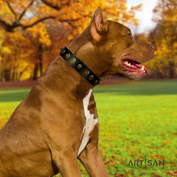 Pitbull stunning decorated leather dog collar for daily walking