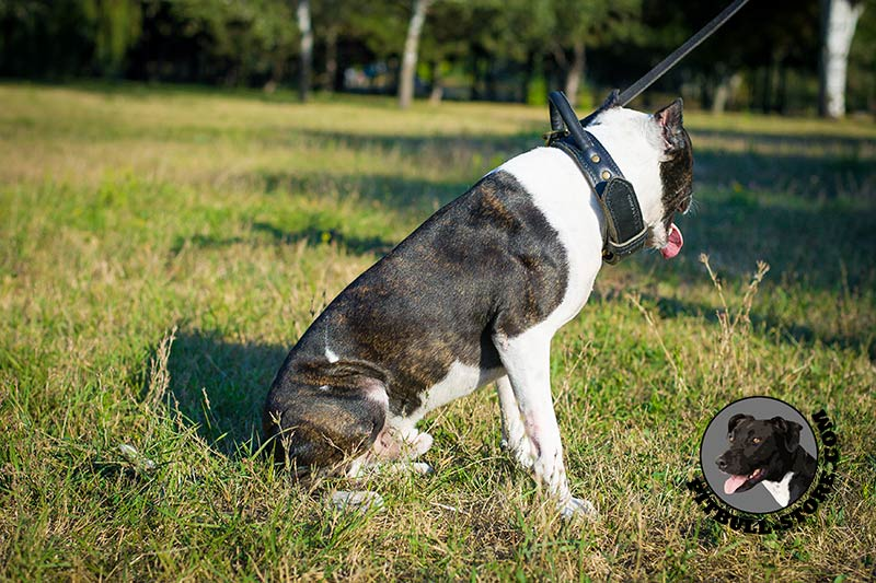 Pitt bull dog pics for Ferman motor car company