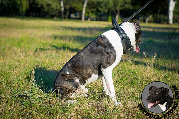 Reliable Pitbull dog collar for training