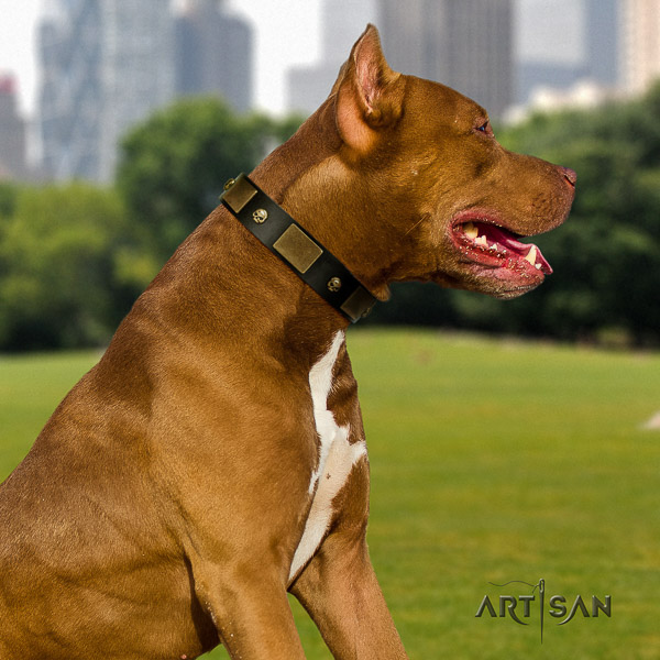 Pitbull top notch embellished leather dog collar for fancy walking