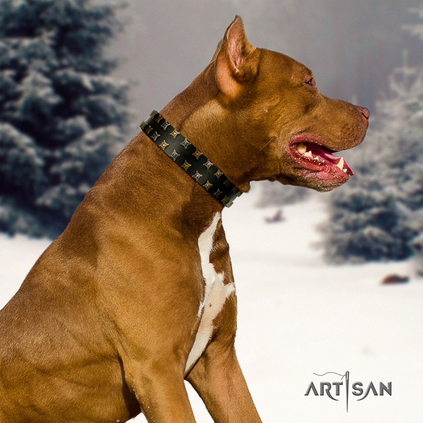 Pitbull significant studded full grain natural leather dog collar for walking