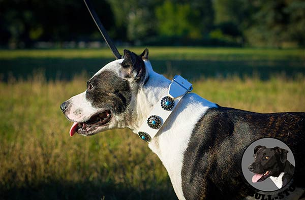 Stylish white leather Pitbull walking collar