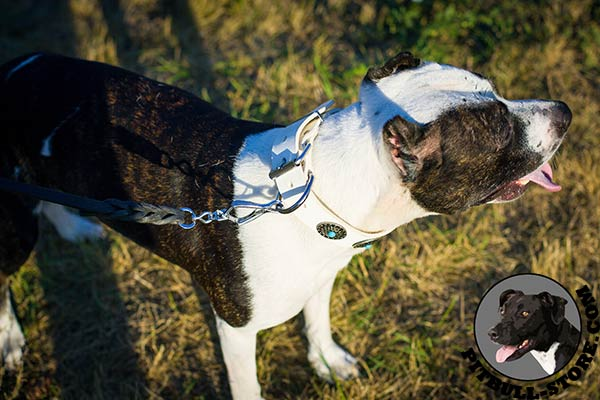 White leather Pitbull walking collar with silvery D-ring