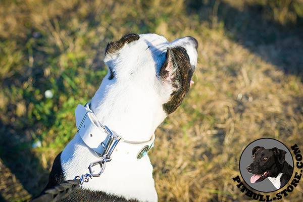 White leather Pitbull collar with relibale D-ring for leash connection