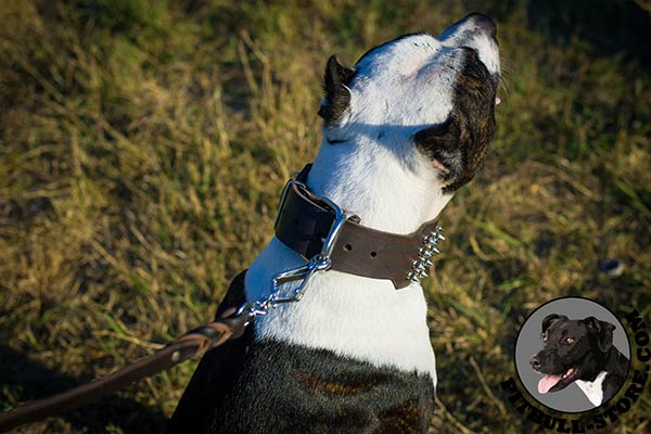 Superb Pitbull collar with polished buckle and D-ring