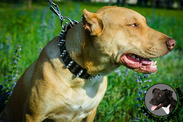 Stylish leather collar for Pitbull