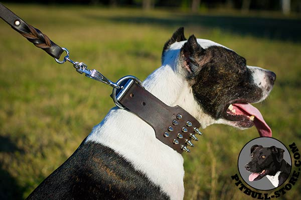 Extra wide Pitbull collar with nickel plated spikes and D-ring