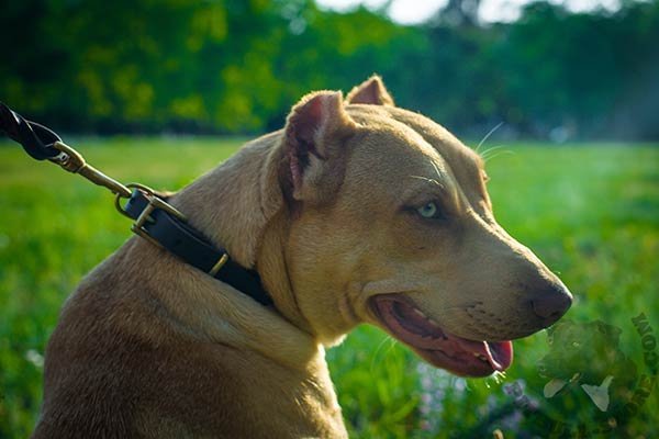 Pitbull brown leather collar with rust-resistant hardware for quality control