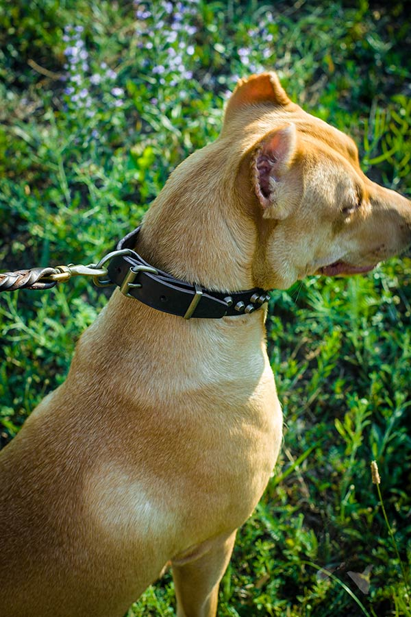 Pitbull brown leather collar with reliable hardware for any activity