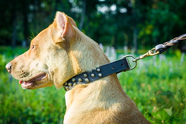 Pitbull brown leather collar with non-corrosive studs for stylish walks