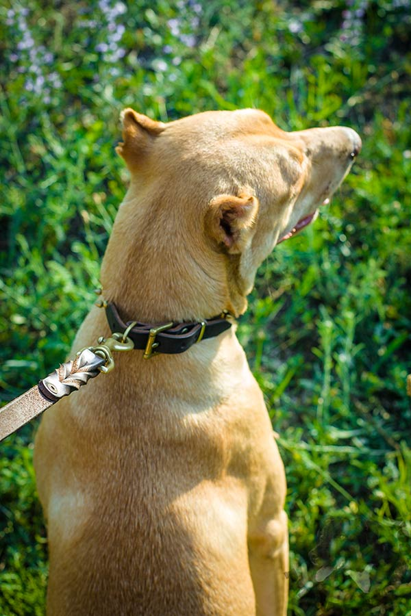 Pitbull brown leather collar of high quality with d-ring for leash attachment for any activity