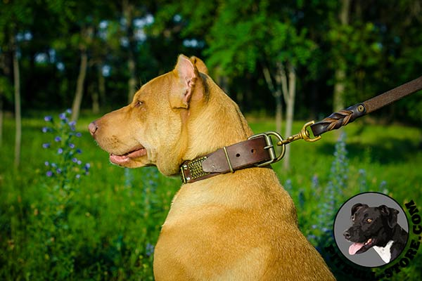Leather Pitbull collar with hand-riveted fittings