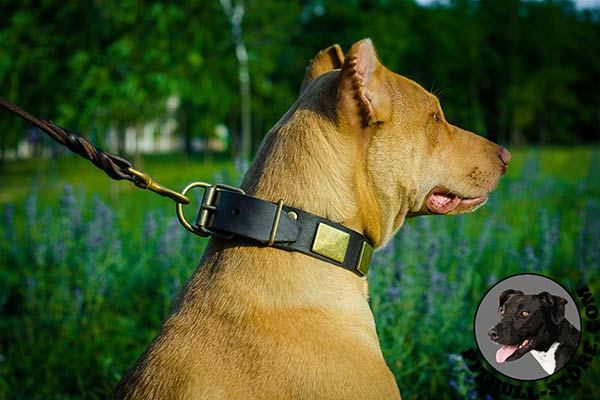 Safe walks with leather Pitbull collar