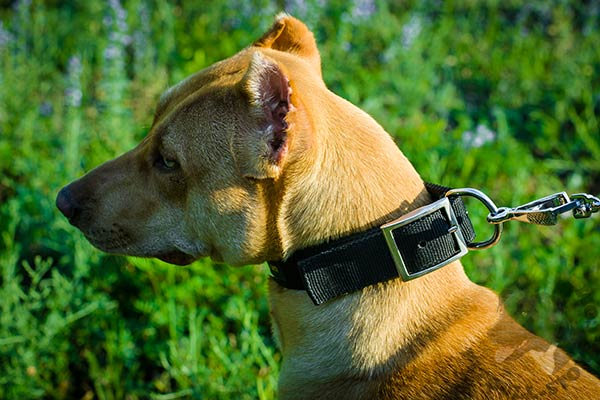 Pitbull nylon collar with rust-free hardware for daily activity