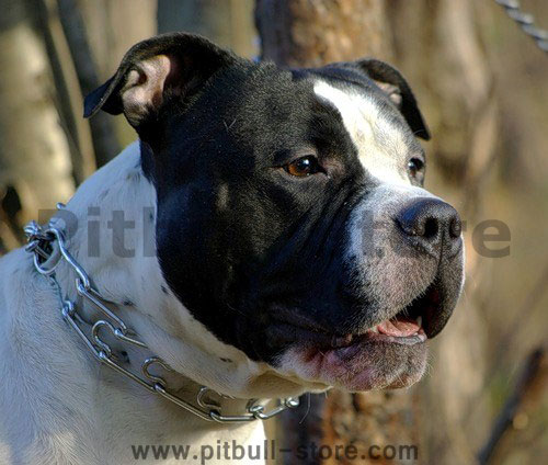 prong collar for American Staffordshire Terrier 50004 (3.25mm)