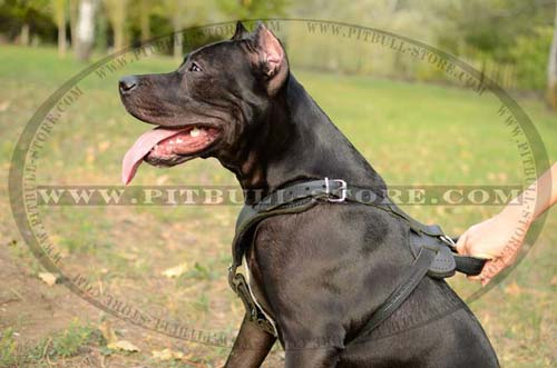 Handcrafted leather Harness for Pitbull