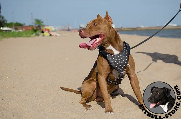 Leather Pitbull harness with nickel plated studs