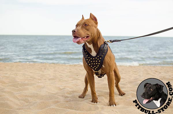 Genuine leather Pitbull harness of perfect design