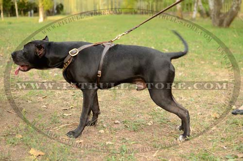 Training Leather Harness for Pitbull
