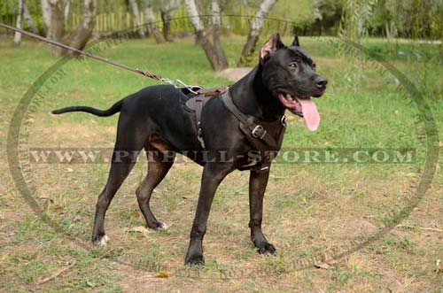 Strong Everyday Leather Harness for Pitbull