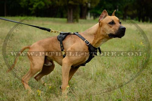 Leather Harness with Brass Fittings for Pitbull