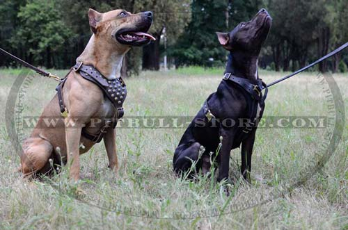 Training Leather Harnesses for Pitbull