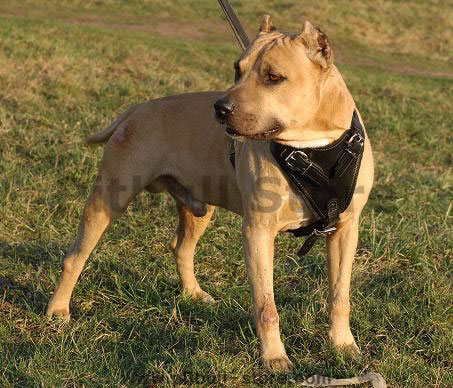 Pitbull leather dog harness for training,walking,tracking..
