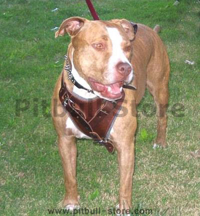 APBT Leahter dog harness for walking , tracking, pulling...