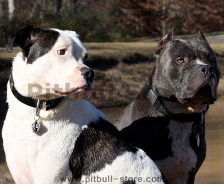 bull massive dog. best dog collar for pitbull