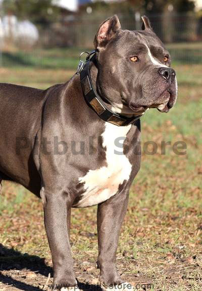 Buy APBT leather dog collar now!!!!
