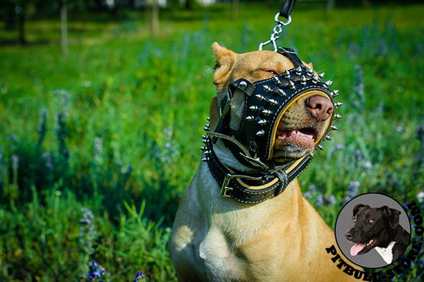 Nappa padded leather Pitbull muzzle for daily walks