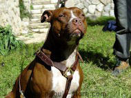 Luxury handcrafted leather dog harness made To Fit Pitbull