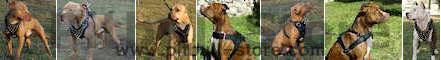 American pitbull dog harnesses