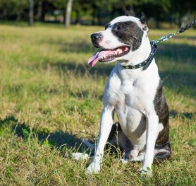 What You SHould Know about Pitbulls